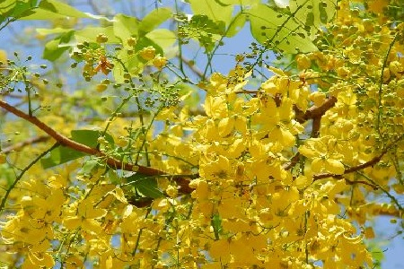 Top 10 flowering trees in india top list hub common name indian laburnum or golden shower flowering season february to march mightylinksfo Image collections