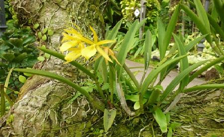 Golden Arch Dendrobium