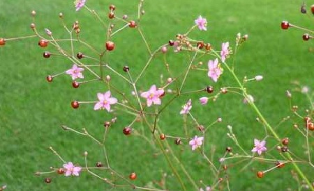 Jewels of Opar Plant