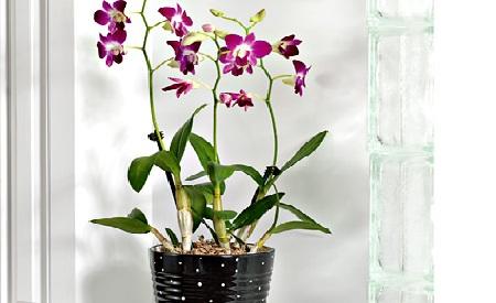 Small Bearded Dendrobium