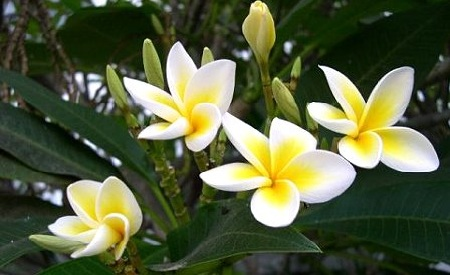 Top 10 garden flowers in india top list hub it is best known for its highly fragrant yellow or white flowers this fragrance has made champa flowers very unique and popular across mightylinksfo